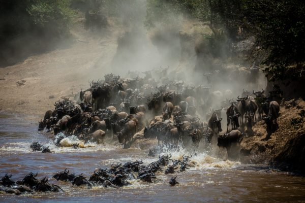 Wildbeest crossing